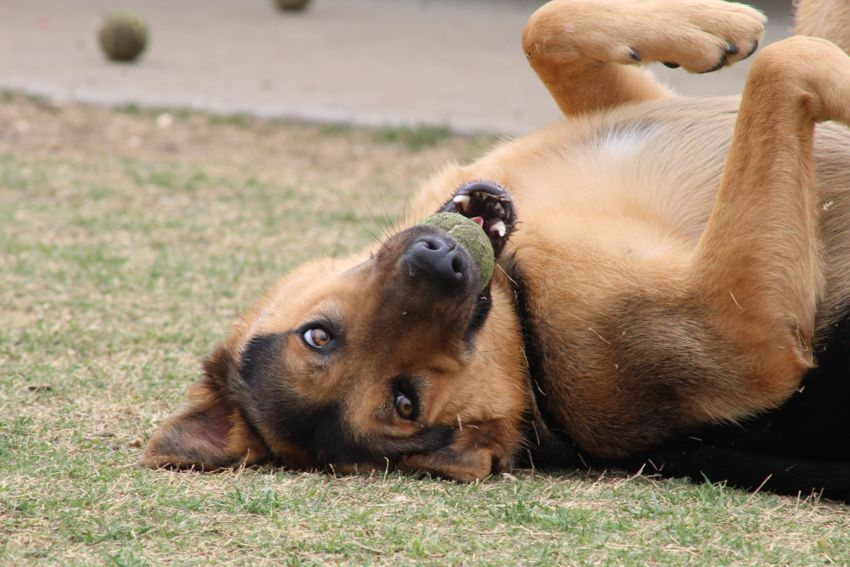 Dog Trainer in Dallas - Carrollton - Farmers Branch TX